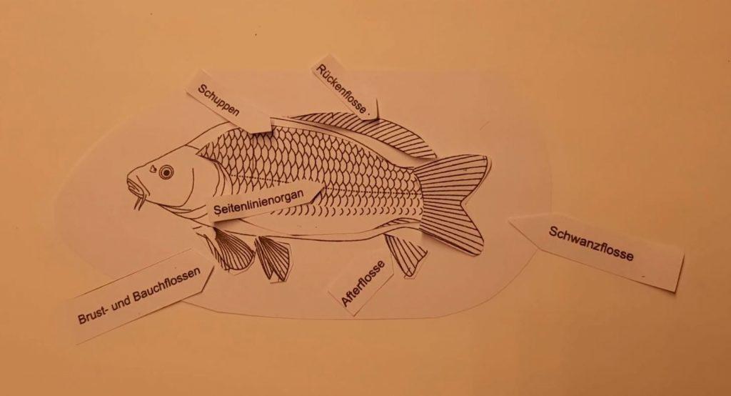 Bauplan des Fisches